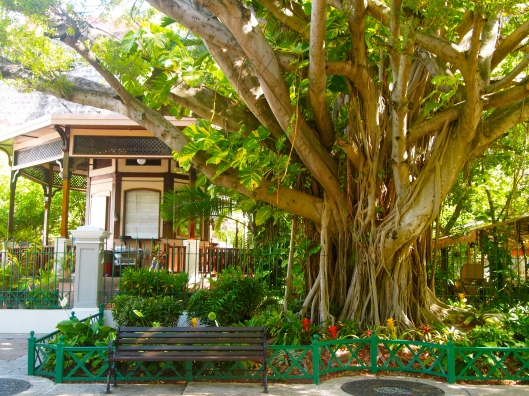 huge ficus tree along Paseo de la Princesa