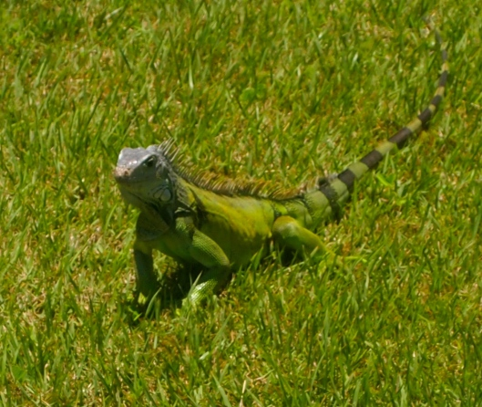 Iguana on the grounds of Castillo de San Cristóbal
